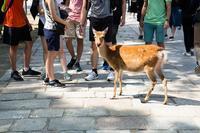 奈良の観光大使 ♪ - Lovely Poodle