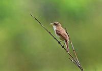・コヨシキリ - 鳥見撮り