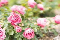 薔薇が咲いた - つなぐユメ