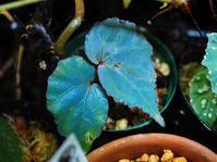 木立性ベゴニアの1種(タタウ産)青光 #3 - Blog: Living Tropically