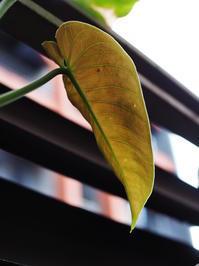 アンスリウム・マルモラータム #3 - Blog: Living Tropically
