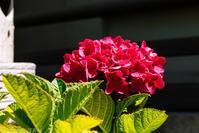 アジサイの花 - はる0904の写真帳