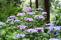 紫陽花 - ~葡萄と田舎時間~ 西田葡萄園のブログ