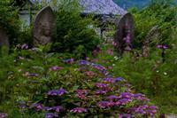 般若寺の紫陽花と初夏コスモス - 鏡花水月