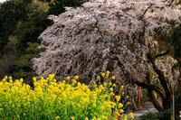 桜咲く京都2018 春爛漫の正法寺(西山) - 花景色-K.W.C. PhotoBlog