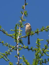 高原のモズ - コーヒー党の野鳥と自然 パート2