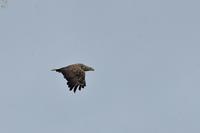 北の王者・空の王者  オジロワシ - 野鳥公園