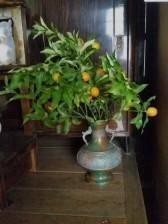 金柑(松浦) - 柚の森の仲間たち