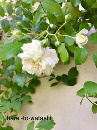 2番花あれこれ  -その2- - バラと私と時々、カルトナージュ
