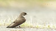 ショウドウツバメ - 北の野鳥たち