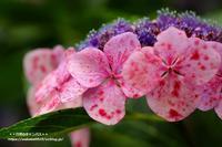 紫陽花をマクロレンズで撮影(^^♪ - 自然のキャンバス