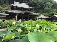 三室戸寺の蓮とあじさい - 【飴屋通信】 京都の飴工房「岩井製菓」のブログ