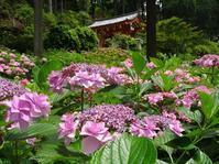 三室戸寺の紫陽花と蓮 - 彩の気まぐれ写真