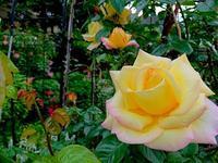 628、庭にバラ咲き始める - 五十嵐靖之 趣味の写真と短歌