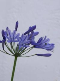 藤色の花 - 宙吹きガラスの器