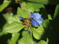 6月の庭Vol.3サムライブルーの花 - グリママの花日記