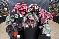 ベゴニア展始まります - 手柄山温室植物園ブログ 『山の上から花だより』