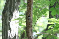 コゲラの巣穴からの顔出し - 私の鳥撮り散歩