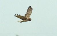 マダラチュウヒ - barbersanの野鳥観察