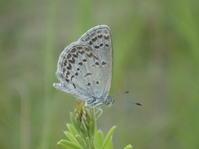 2018年6月下旬 栃木県 シルビアシジミ その1 - 春ちゃんのメモ蝶3