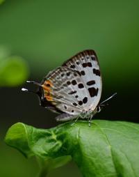 オナガシジミ6月30日 - 超蝶