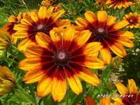 初夏の花壇を彩るキク科の花々です。 - デジカメ散歩悠々