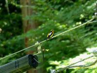 キビタキ・ヤマガラ・・・高尾 - 浅川野鳥散歩