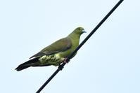 ズアカアオバト(Whistling Green-pigeon)/2018.06 - Birding  in  Japan!