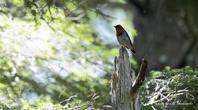 コマドリの谷 - 雅郎の花鳥風月