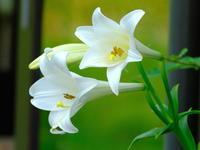 白百合と黄蝶 - 自然がいっぱい3