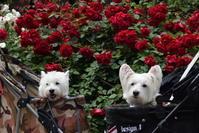 ♪ ダニエル 綺麗な薔薇とツーショット~(*^▽^*) ♪ - happy west DANIEL story