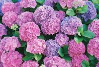 もりもり紫陽花 - photomo