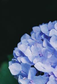 しっとり青紫陽花 - photomo