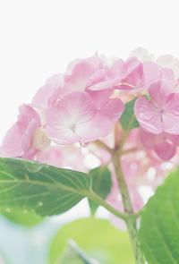 しっとりふわふわ紫陽花 - photomo