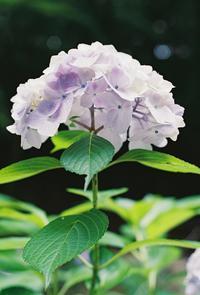 白と紫の紫陽花 - photomo
