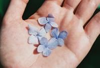 紫陽花の花弁 - photomo