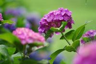 紫陽花 - 自然と仲良くなれたらいいな2