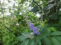 西洋人参木 - だんご虫の花