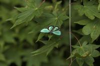 黄昏時のメスアカミドリ - チョウ!お気に入り