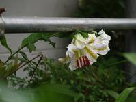 ヤマユリ咲く日曜日 - hibariの巣