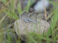 2018年6月下旬 栃木県 シルビアシジミ その2 - 春ちゃんのメモ蝶3