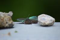 メスアカミドリシジミ6月30日 - 超蝶