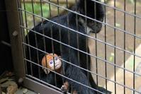 フランソワルトンの赤ちゃん - 動物園に嵌り中