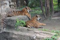 待ち構えるトラと人 - 動物園へ行こう