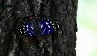 2018梅雨明け? - 紀州里山の蝶たち