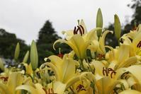 黄色のユリが見ごろです🌸 - 神戸布引ハーブ園 ハーブガイド ハーブ花ごよみ