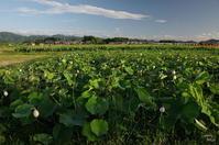 橿原市高殿町 蓮田 - ぶらり記録(写真) 奈良・大阪・・・