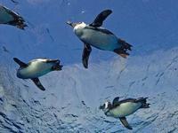 サンシャイン水族館~ペリカン・フィーディングタイム&ペンギン・ダイビングタイム - 続々・動物園ありマス。