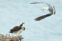 ミサゴ - 北の野鳥たち