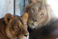 真夏の桐生のライオン一家 - 動物園放浪記